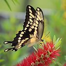 Giant Swallowtail Butterfly by Bob Hardy