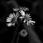 Daisy Fleabane Wildflower - B&W - Erigeron annuus by MotherNature2