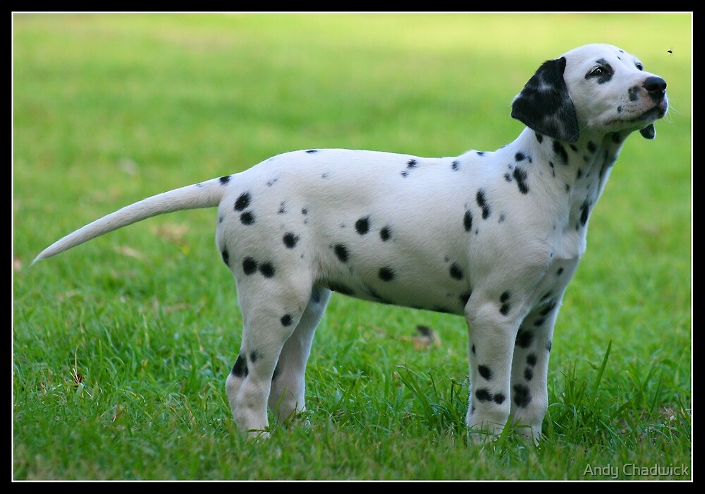 Dalmation watching a fly by Andy Chadwick