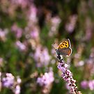 Small Copper on Heather by Jo Nijenhuis