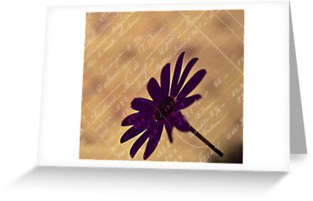 Senetti - Pericallis by Sandra Foster