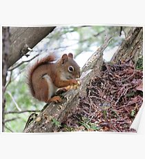 Red Squirrel in Algonquin Park Poster