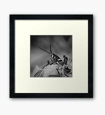 Lubber, Florida Everglades Framed Print