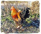 Rooster by FrankieCat