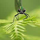 Beautiful Demoiselle by Neil Bygrave (NATURELENS)