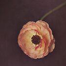 Winter Ranunculus  by Nicola  Pearson