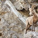 Juvenile Bighorn Sheep by Tracy Friesen