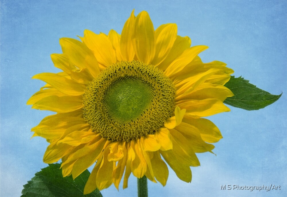 Textured Sunflower by M S Photography/Art