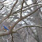 Flock of Eastern Bluebirds by Sheryl Hopkins