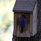 05 Male Eastern Bluebird at nesting box by Sheryl Hopkins