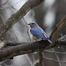 11 Male Eastern Bluebird on bare tree by Sheryl Hopkins