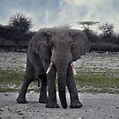 Old man Elephant (Loxodonta) - Kenya by Bev Pascoe