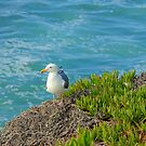 La Jolla Cove Seagull by K D Graves Photography