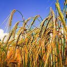 Golden Harvest by ScenicViewPics