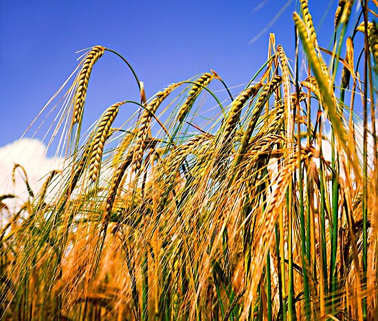 Golden Harvest by ScenicViewPics