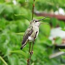 Hummingbird With Mouth Open by Chrissy Ferguson