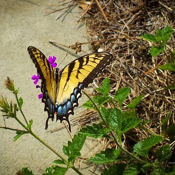 Female Eastern Tiger Swallowtail  by hannahsview