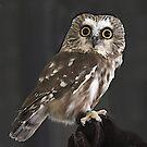 Northern Saw Whet Owl by Nancy Richard