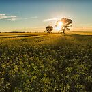 Canola Sunrise by yolanda