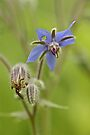 Borage Wildflower - Borage officinalis - Annual Herb by MotherNature
