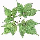 American Ginseng Drawing by wildozark