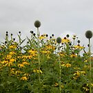 echinops & rudbeckia border by Babz Runcie