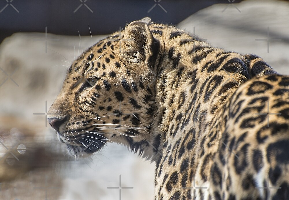 Distracted Leopard by dangerouslyclos