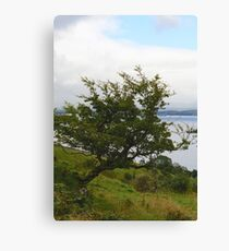 """""""Over a lifetime in the elements upon the Emerald Isle, she bowed and embodied the wind~~~"""" Canvas Print"""