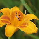 a Lily  by ANNABEL   S. ALENTON