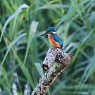 Kingfisher by DaleReynolds