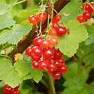 lovely shiny redcurrants by Babz Runcie