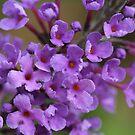 purple butterfly bush by ANNABEL   S. ALENTON
