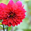 Red Dahlia by LinnyRett