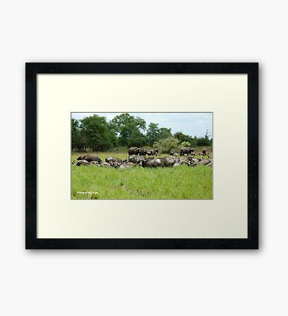 ON A HOT DAY A SMALL WATERHOLE - The Buffalo - Syncerus caffer  Framed Print