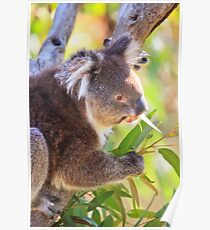 Feed Me, Yanchep National Park Poster