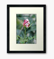 This mornings bud .... La Mirada, CA USA Framed Print