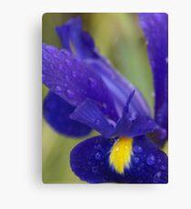 Rain drenched Iris, La Mirada Villages, La Mirada, CA USA Canvas Print