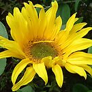 Instant Sunshine by lynn carter