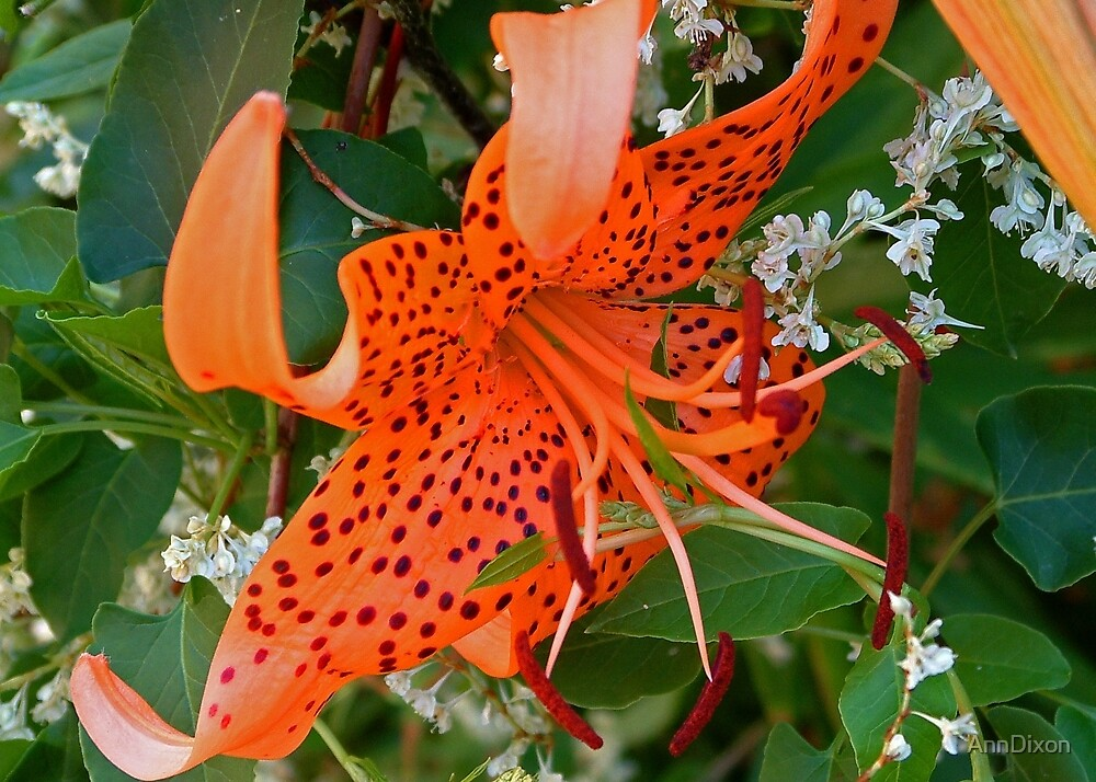 Orange Spotted Lily by AnnDixon