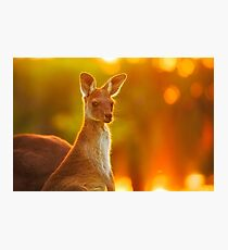 Sunset Joey, Yanchep National Park Photographic Print