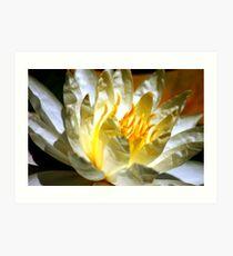 White waterlily (Nymphaea odorata rosea) Art Print
