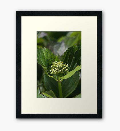 Green Buds Of Hydrangea Framed Print