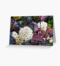 Common Ninebark in my Front Yard Greeting Card
