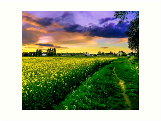 Rapeseed Sunset by ScenicViewPics