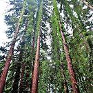 Redwoods by Stephen Burke