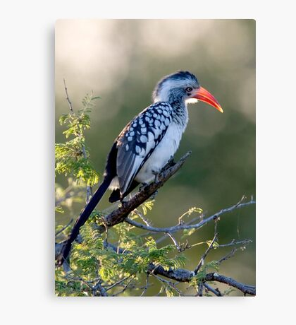 Red Billed Hornbill Canvas Print