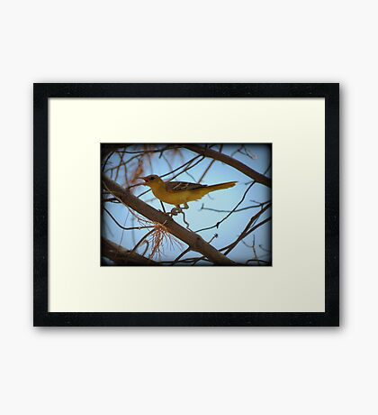 Hooded Oriole (Female) Framed Print