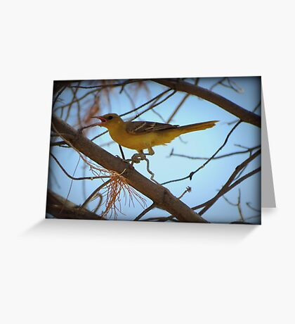 Hooded Oriole (Female) Greeting Card