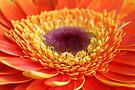 Orange Gerbera by Tiffany Dryburgh