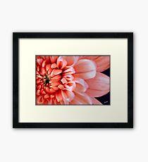 Chrysanthemum Macro Framed Print